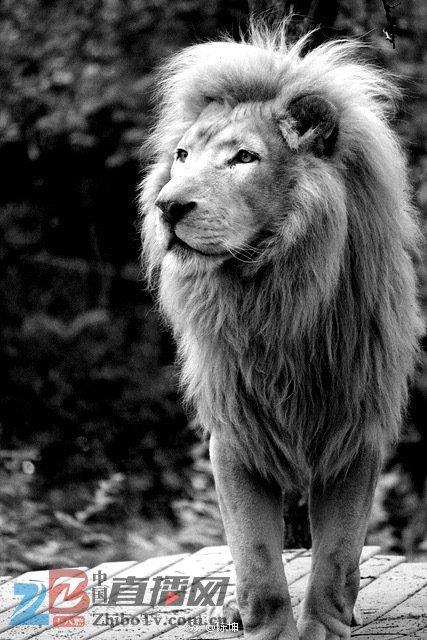 黑白狮子照