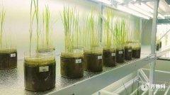 1000份海水稻材料在青岛