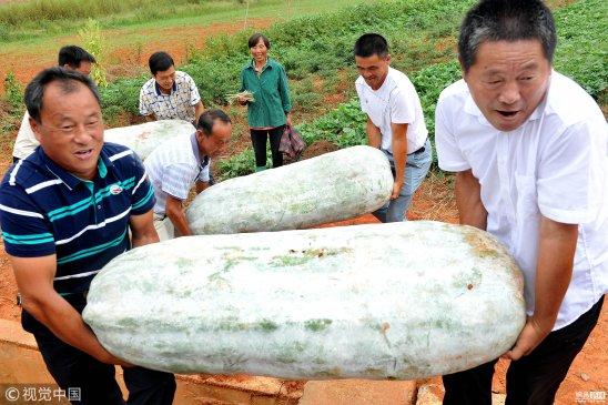 """江西上饶巨型冬瓜丰收""""冬瓜王子""""重达184斤"""