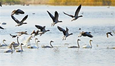 湿地环境改善 候鸟聚集歇脚