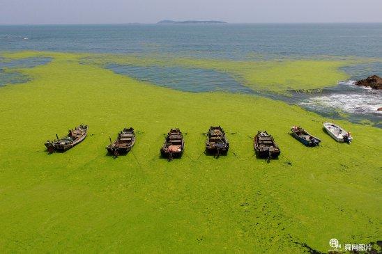 青岛近海海域绿潮爆发 设三道防线全面