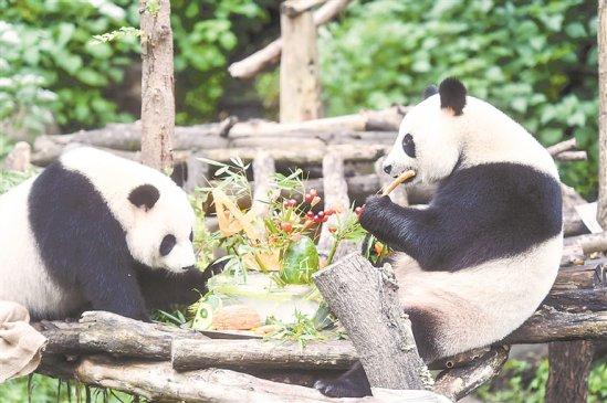 """大熊猫双胞胎""""和和""""""""九九""""迎来4周岁生日"""