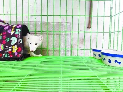 捡到的雪狐有了新家 相关人士建议不要盲目养狐狸